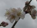 [花]さくらんぼ