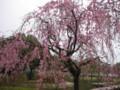 [花]しだれ桜