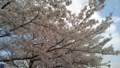 [景色]桜並木