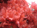 [花]つつじ