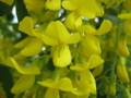 [花]黄藤