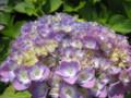 [花]アジサイ