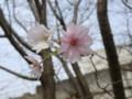 [花]十月桜