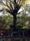 樹齢約700年、今も樹勢が止まらない大きな大きな銀杏の樹
