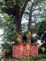 [江ノ島][片瀬江ノ島][菓子][饅頭][漫画][孤独のグルメ]江島神社境内にある幹が2つ、根が1つの大銀杏「むすびの樹」