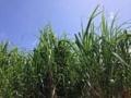 [沖縄][糸満][沖縄そば][定食・食堂][カフェ・喫茶店]帰り道、迷ってサトウキビ畑に辿り着き泣きそうになりました