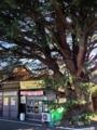 [谷中][根津][菓子]樹齢90年超、高さ20mに達する谷中の大きな「ヒマラヤ杉」