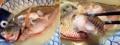 [沖縄][石垣島][和食][寿司・魚介類][居酒屋]沖縄県魚指定のグルクンを頭の先から尾びれまで堪能