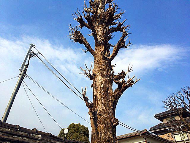 谷中の象徴、江戸時代製の「観音寺の築地塀(ついじべい)」裏の大木
