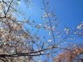 [谷中][日暮里][千駄木][菓子]上野公園の桜