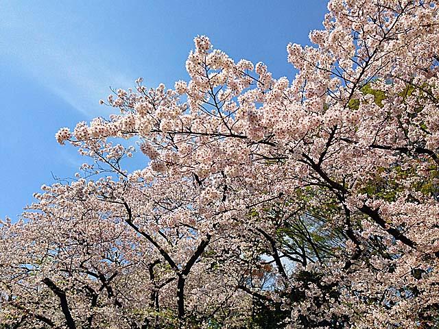 上野公園の満開桜