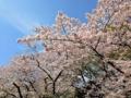[上野][御徒町][ラーメン][餃子][チャーハン][中華][定食・食堂]上野公園の満開桜