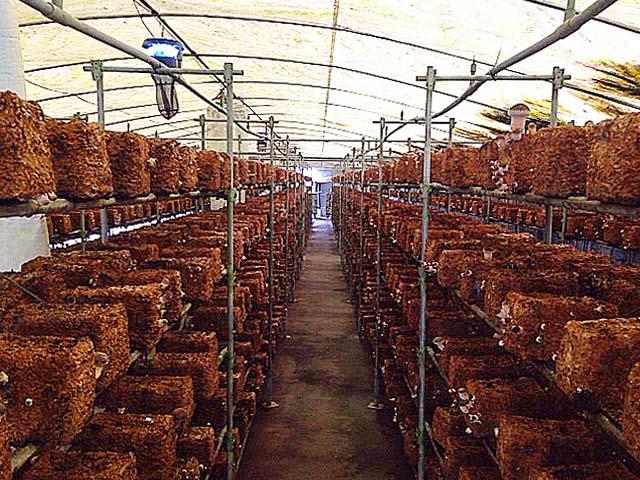 完全無農薬のハウス栽培、見渡す限りのジャンボしいたけ@千葉「佐倉きのこ園」
