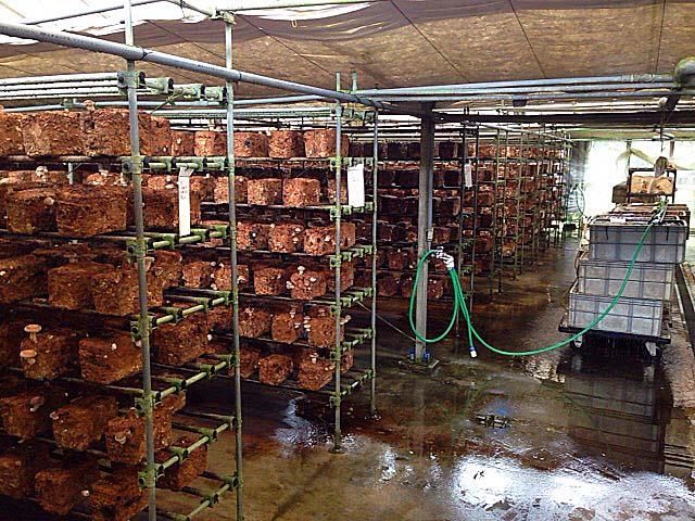 完全無農薬でハウス栽培されるジャンボしいたけ@千葉「佐倉きのこ園」