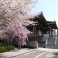 谷町8丁目の桜