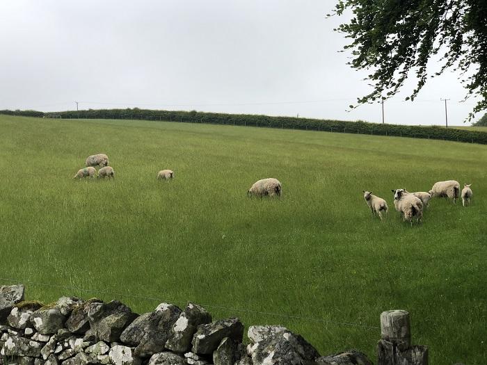 ドライブの途中で見かけた羊