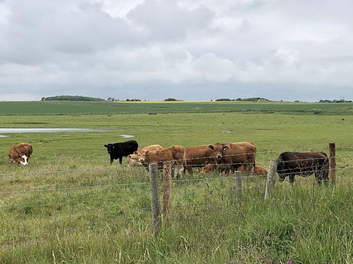 スコットランドの牛