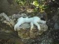 2005/09/17 竹富島の猫スヤスヤ