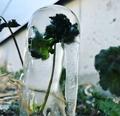 氷に閉じ込められた草花