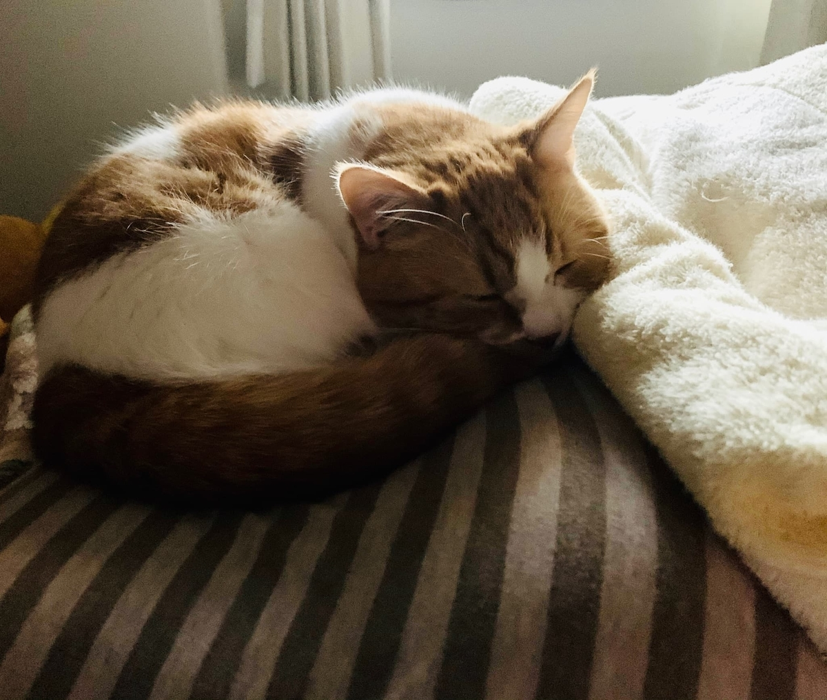 飼い主の枕の上で眠るるるちゃん