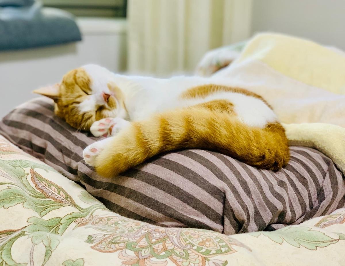 飼い主の枕の上でリラックスするるるちゃん