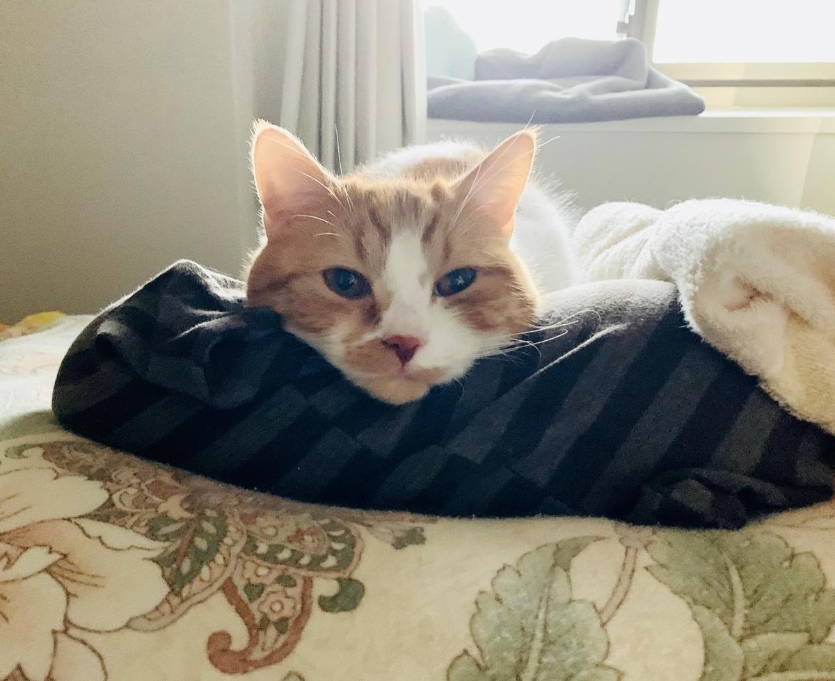 飼い主の枕の上に乗っているるるちゃん