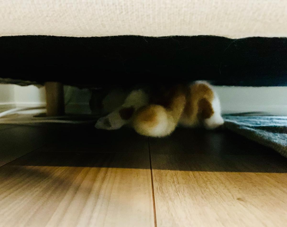 病院から帰宅してまたもソファの下に隠れるるるちゃん