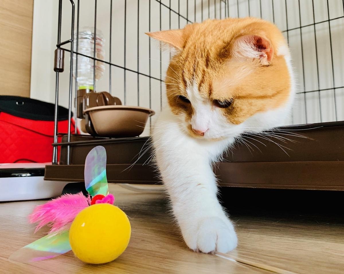 ケージからおもちゃをながめるるるちゃん