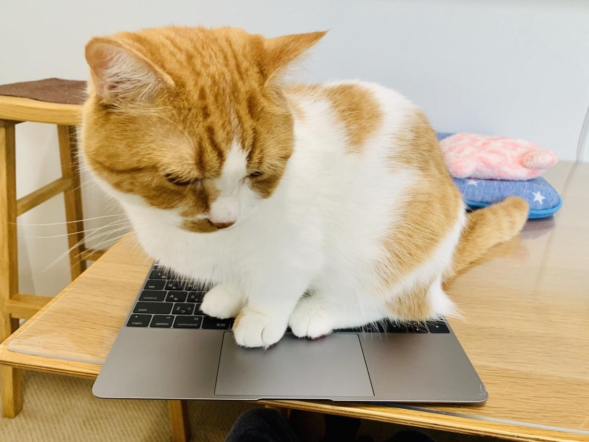 パソコンの上に乗って邪魔をするるるちゃん