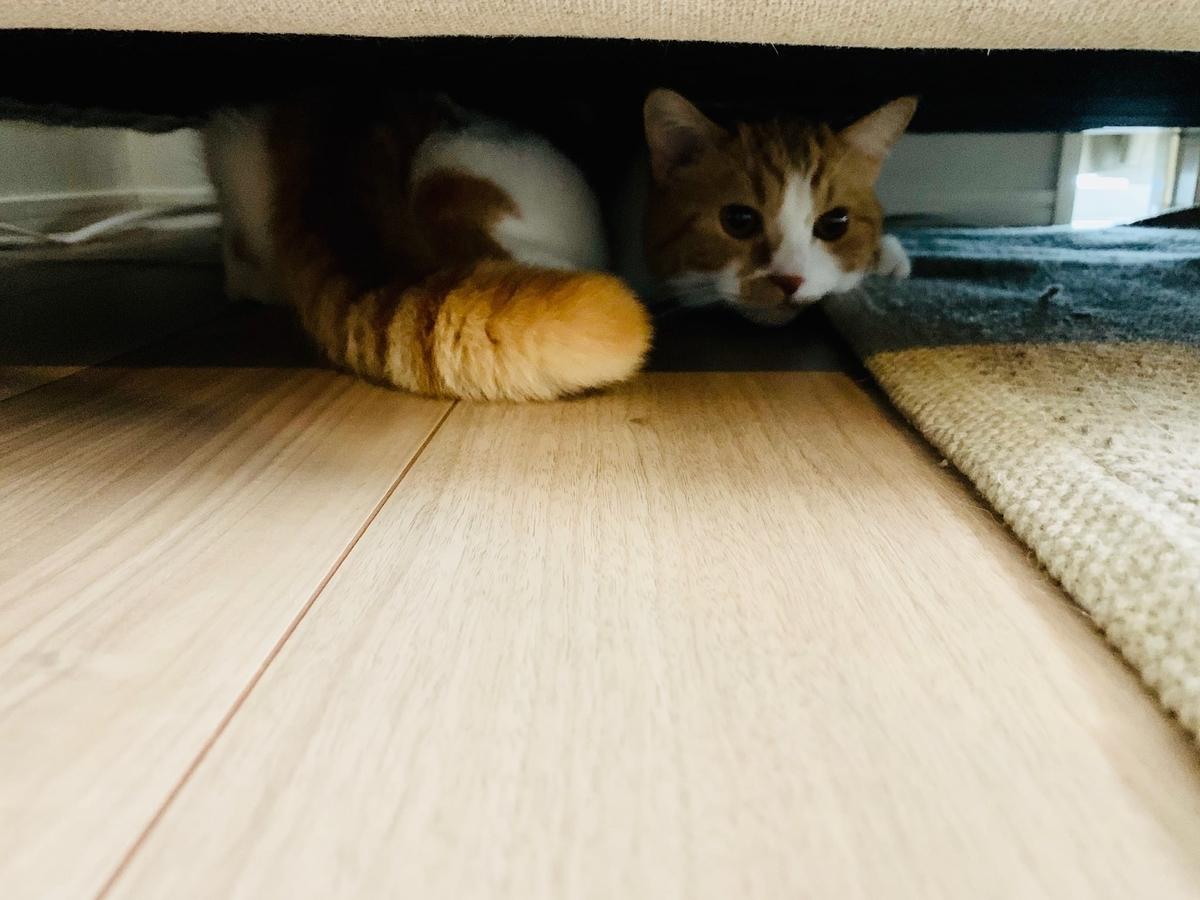病院から帰ってきてソファの下に隠れるるるちゃん