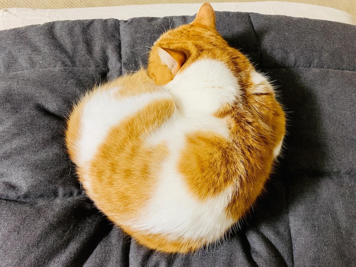 ベーグル猫のるるちゃん1