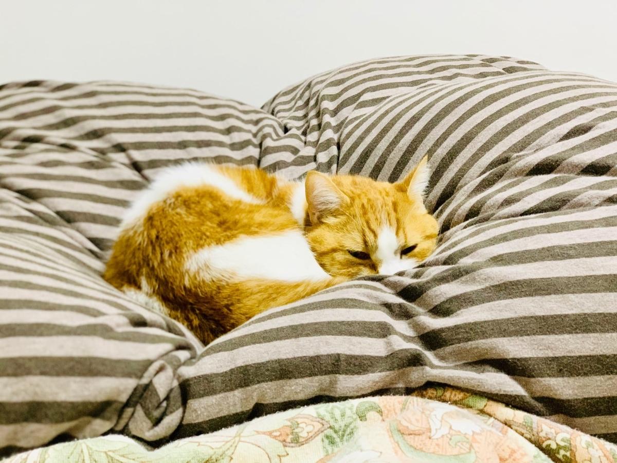 飼い主の布団の上で寝ているるるちゃん