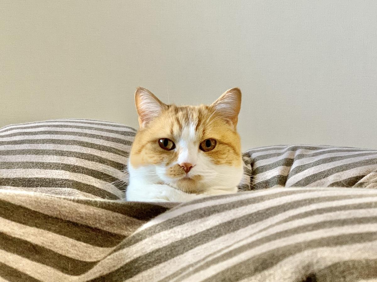 飼い主の布団で一緒に寝るるるちゃん