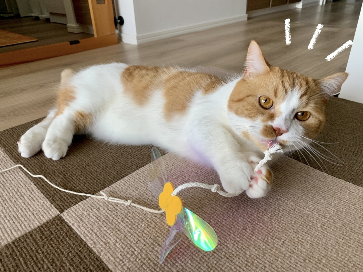 おもちゃを咥えるるるちゃん1