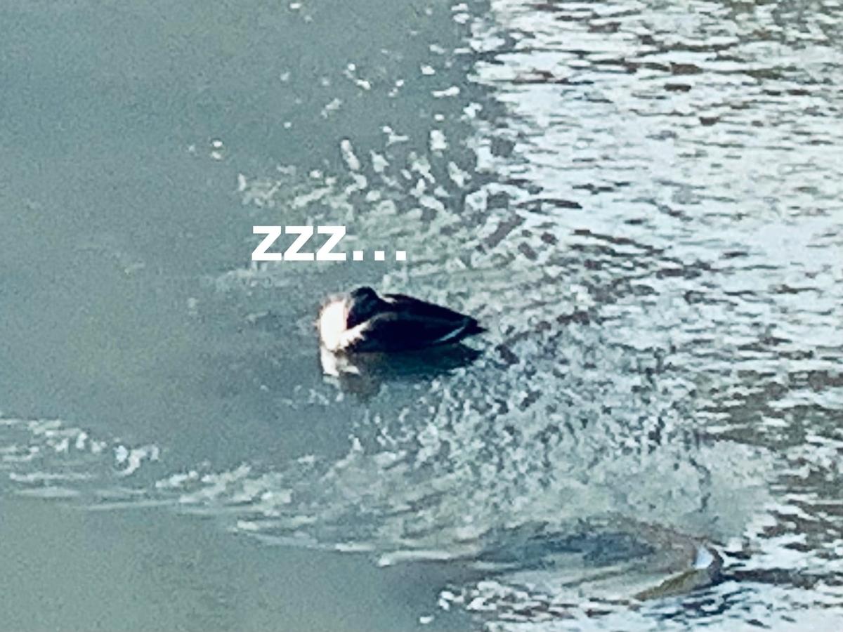 水の上で眠るカモ