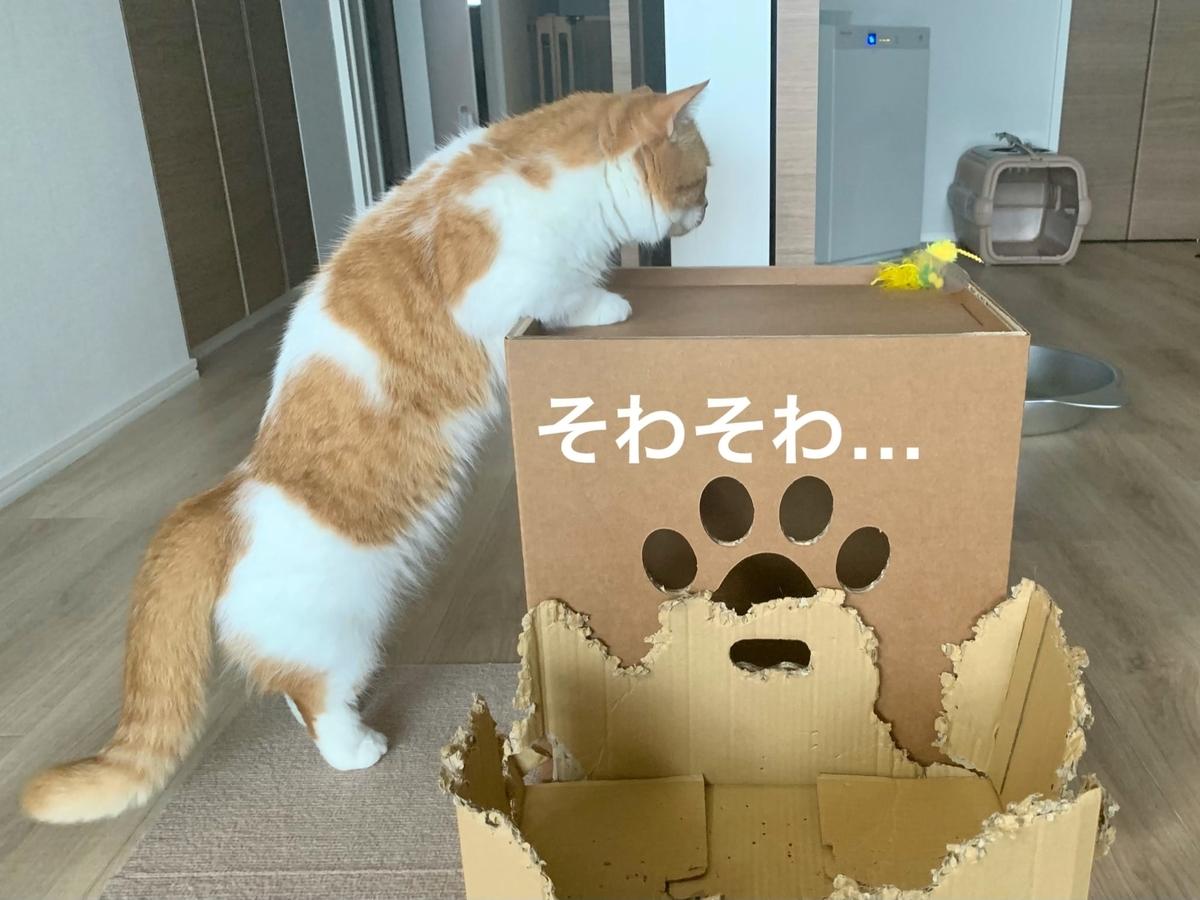 キャットタワーの箱に興味津々のるるちゃん1