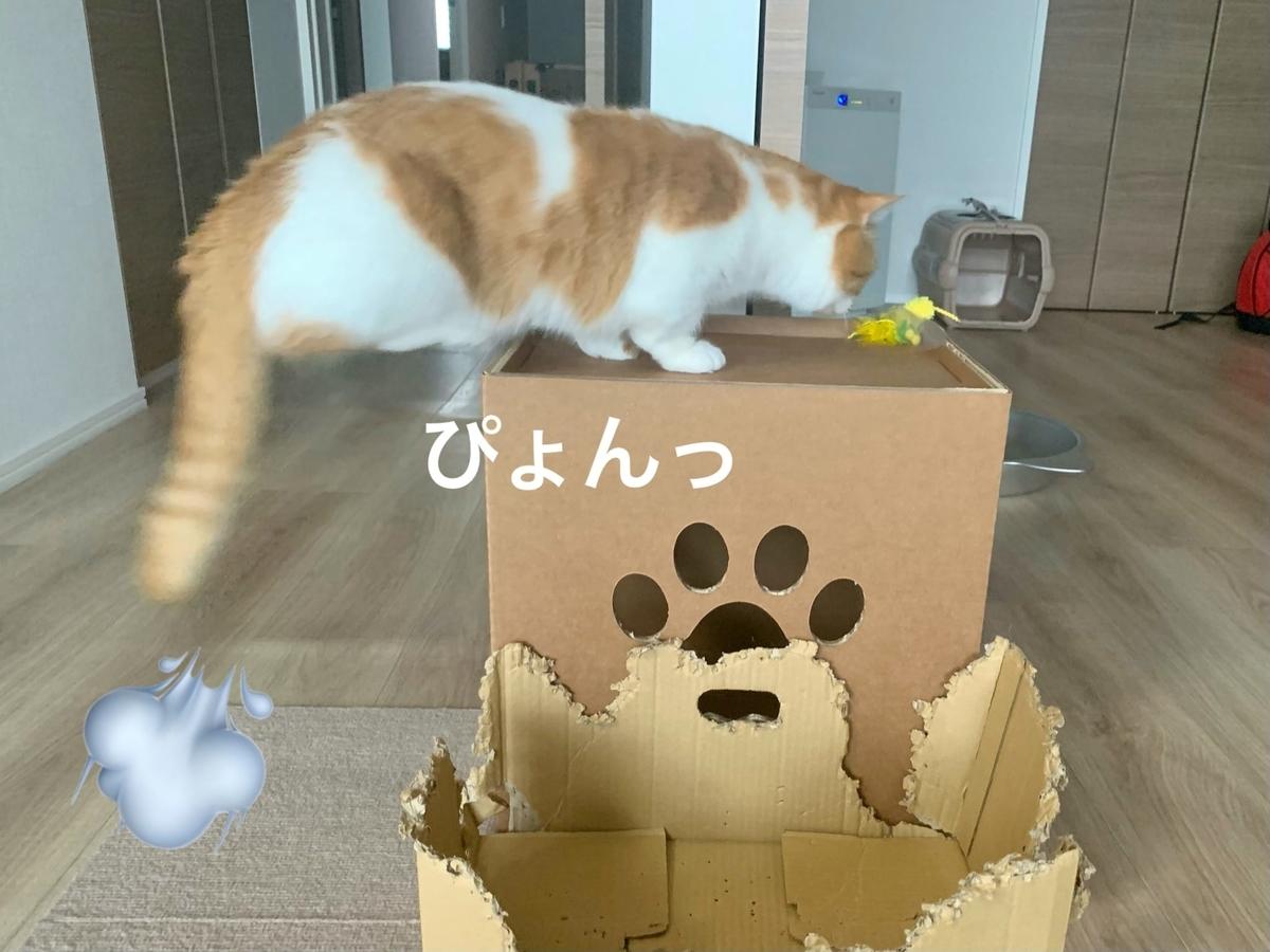 キャットタワーの箱に興味津々のるるちゃん2