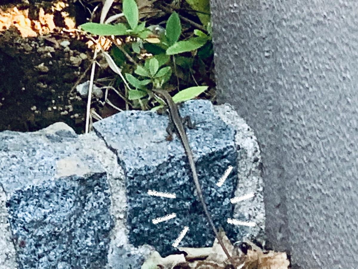 ニホンカナヘビ2