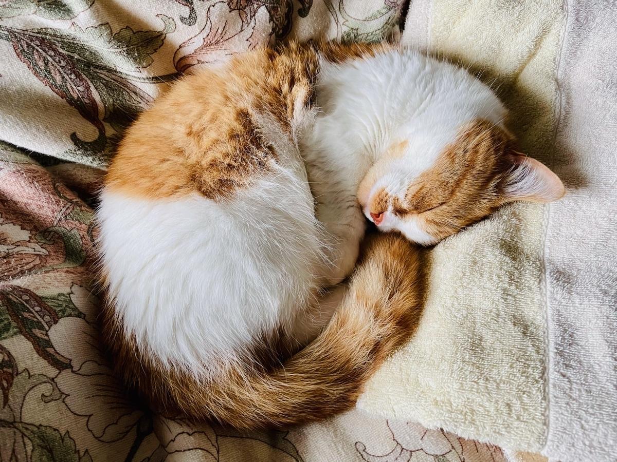 飼い主の布団の上で眠るるるちゃん