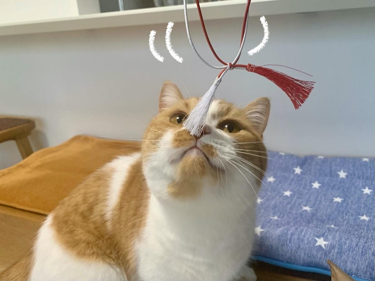 鯛めしの紐で遊ぶるるちゃん