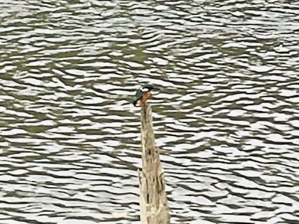 川で見かけたカワセミ