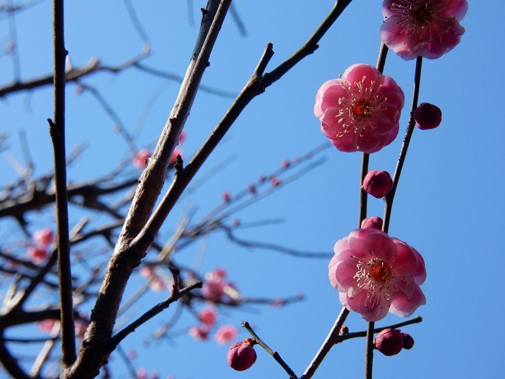 05  鎌倉 ウメ 梅 巡り kamakura 2月の鎌倉はオススメ梅の見所一杯!梅見がてらの鎌倉ご朱印ご利益参拝