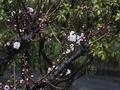 [花木]白梅