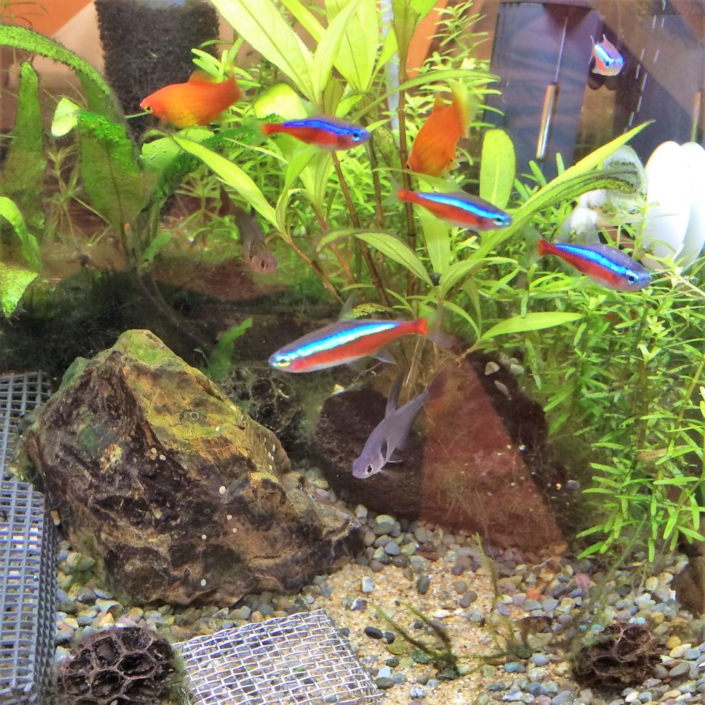 我家の熱帯魚たち