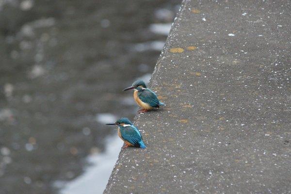 境川のカワセミ(2014年1月)
