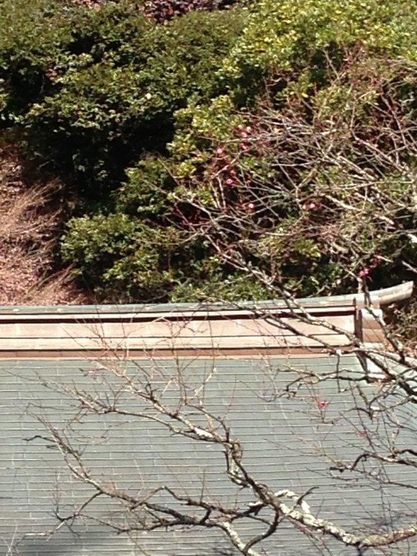 荏柄天神社の梅咲き始め