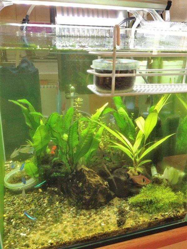 ニューラージパールグラスの水面栽培