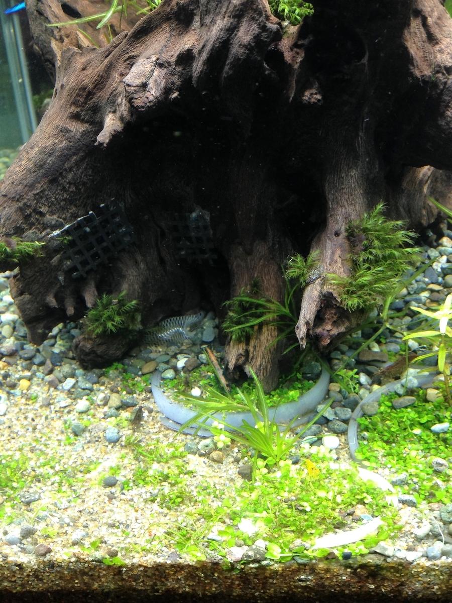前面に植えたニューラージパールグラス