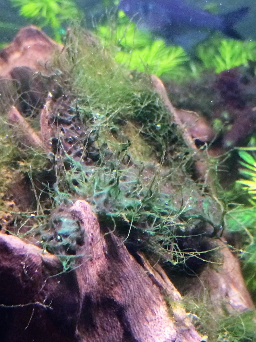 藍藻に襲われた糸状コケ