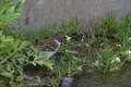 スズメ 鯉のえさを横取り中 なかがわ水遊園